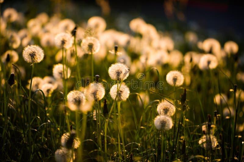 Dandelion, szczęsliwy urok na polu obraz royalty free
