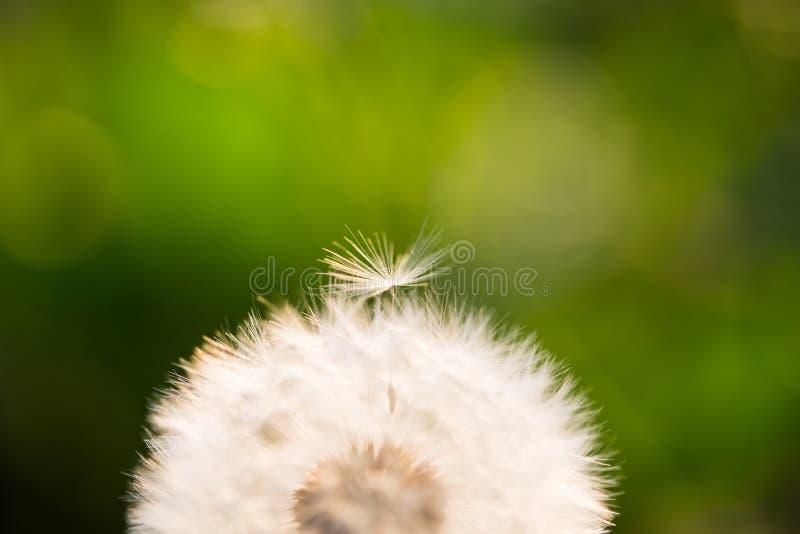Dandelion, szczęsliwy urok na polu fotografia royalty free