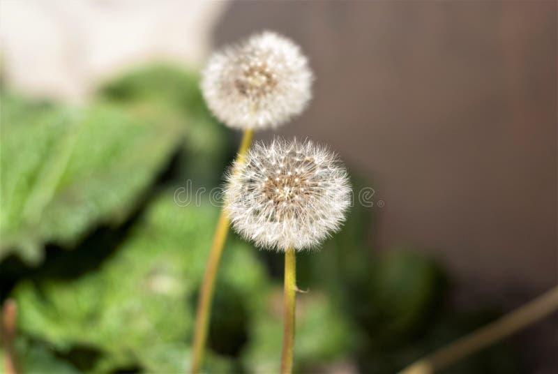 Dandelion taniec w wiatrze fotografia stock