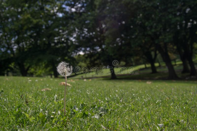 Dandelion / Taraxacum flower head on a grassy hill in the summer, with trees in background. royalty free stock photography