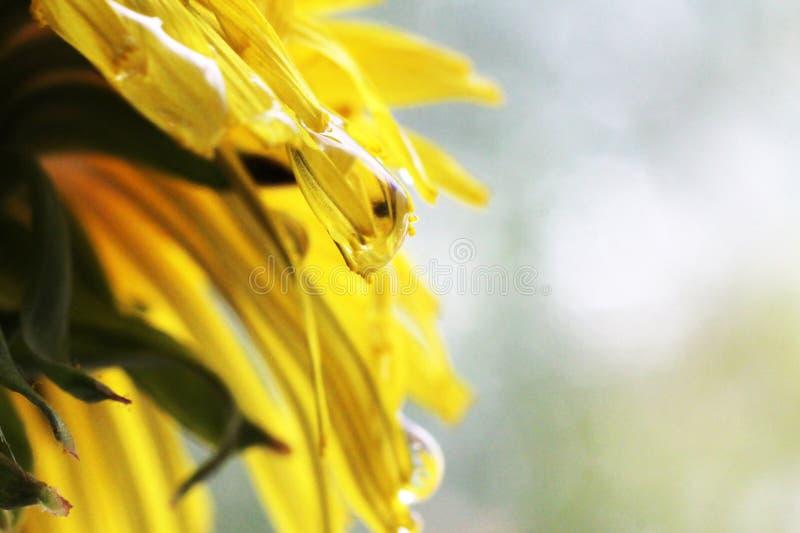 Dandelion Taraxacum Officinale Isolated. Yellow flower so close stock photo