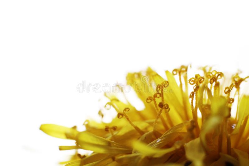 Dandelion Taraxacum Officinale Isolated. Yellow flower so close royalty free stock photo