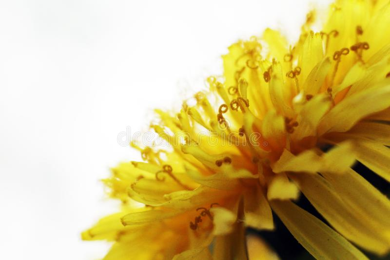 Dandelion Taraxacum Officinale Isolated. Yellow flower so close royalty free stock photos