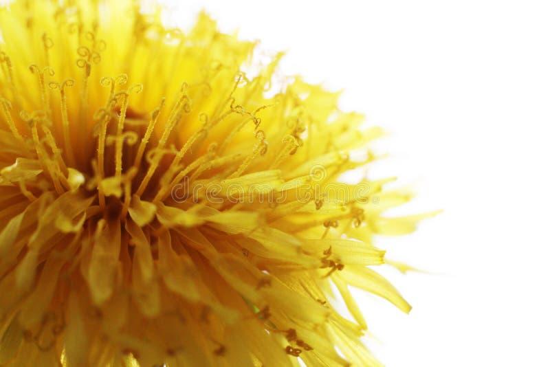 Dandelion Taraxacum Officinale Isolated. Yellow flower so close royalty free stock image