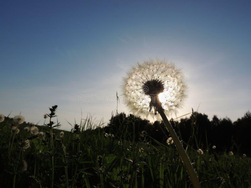 Download Dandelion (Taraxacum Officinale) Stock Photo - Image: 32214808