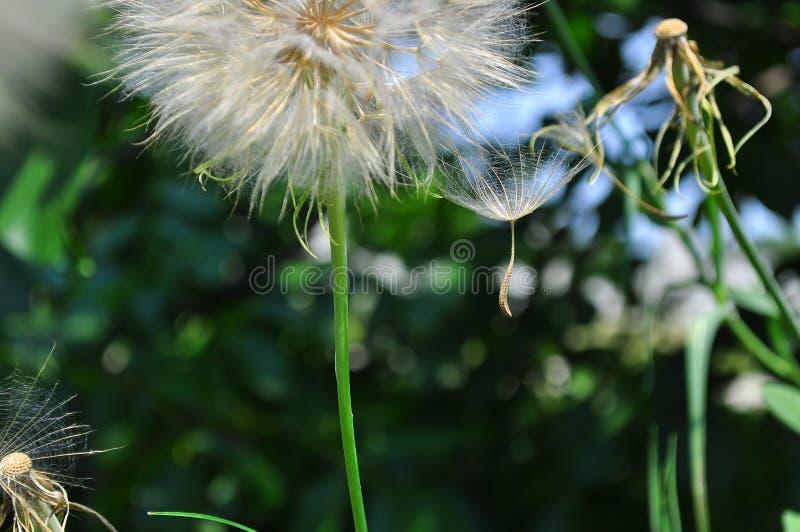 Dandelion Taraxacum officinale rozpierzchania ziarna obraz royalty free