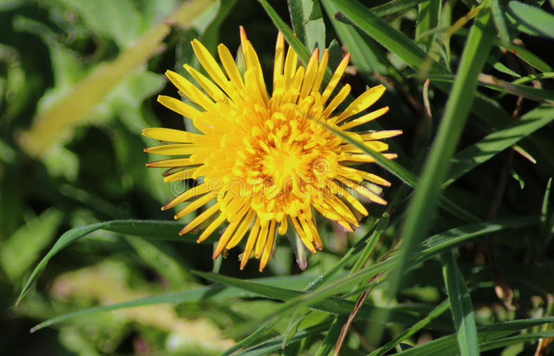 Dandelion. Taraxacum officinale in springtime growing between grass in a meadow royalty free stock photo