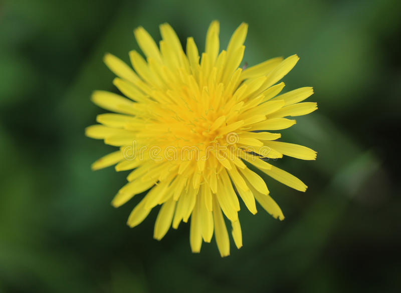 Dandelion. Taraxacum officinale in springtime growing between grass in a meadow royalty free stock photos