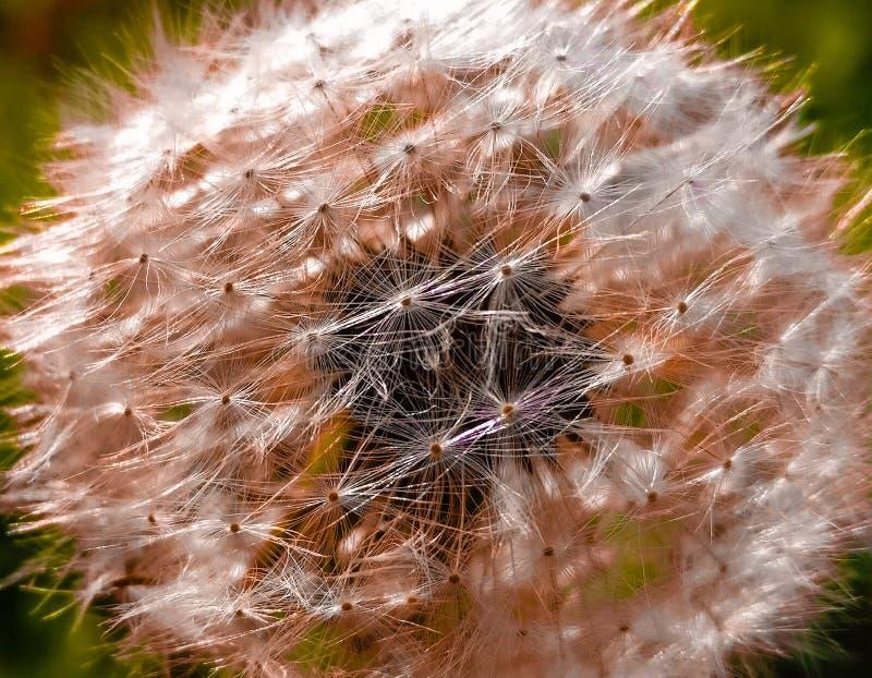 dandelion royalty free stock photography
