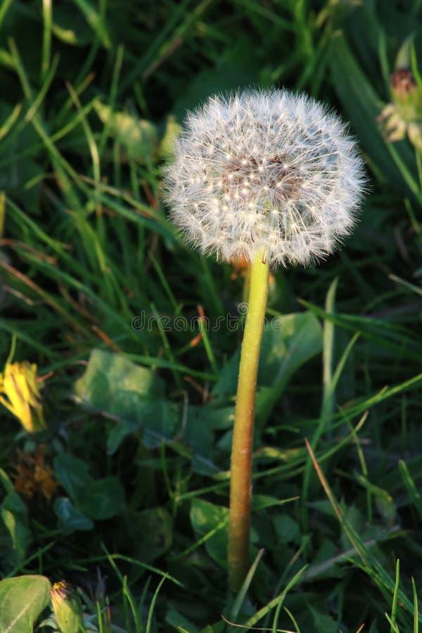 Dandelion, taraxacum officinale, seedhead royalty free stock photo