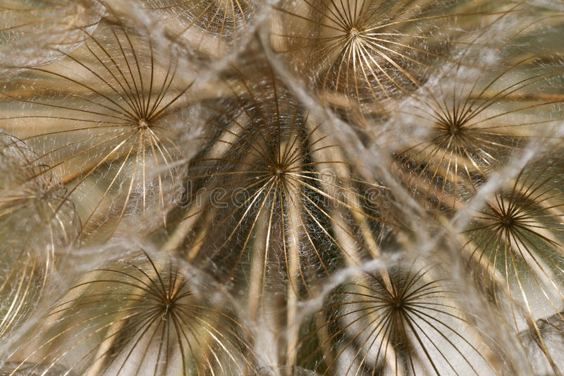 Dandelion tranquil abstract closeup stock photography
