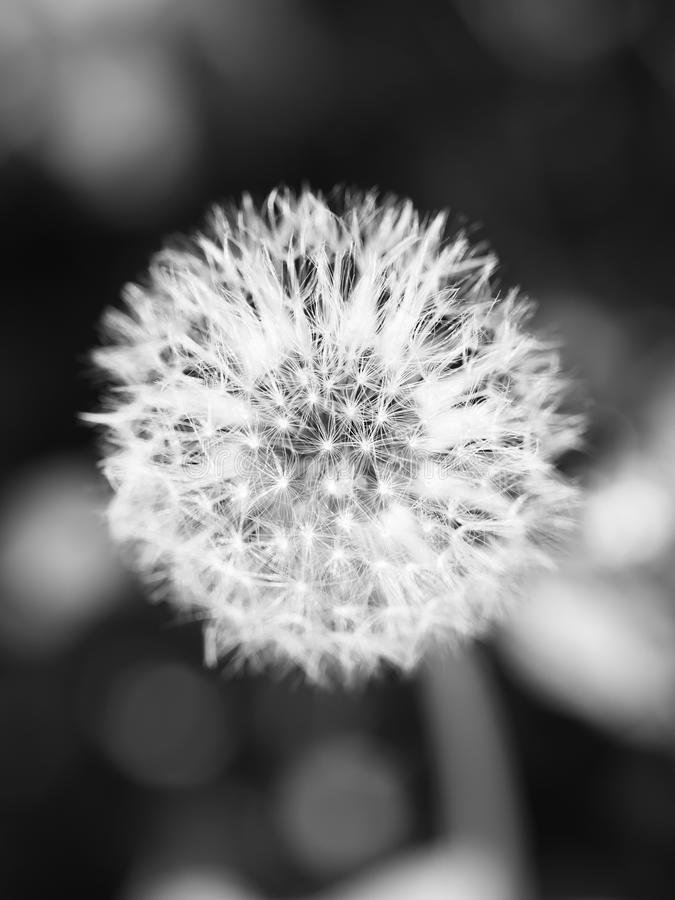 Dandelion. Tranquil abstract closeup art background / first gentle spring young beautiful herbal alternative medicine flowering / white softness pappus healing stock image