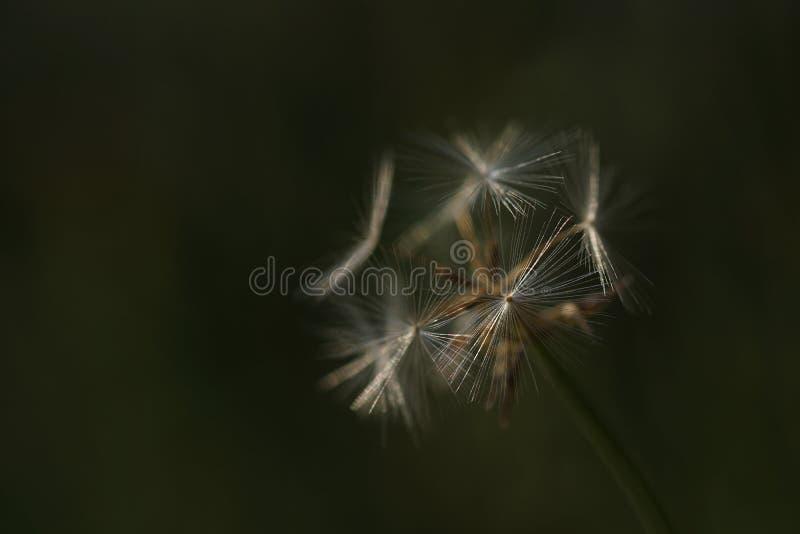 Dandelion family, seed head in green meadow. Macro stock photos