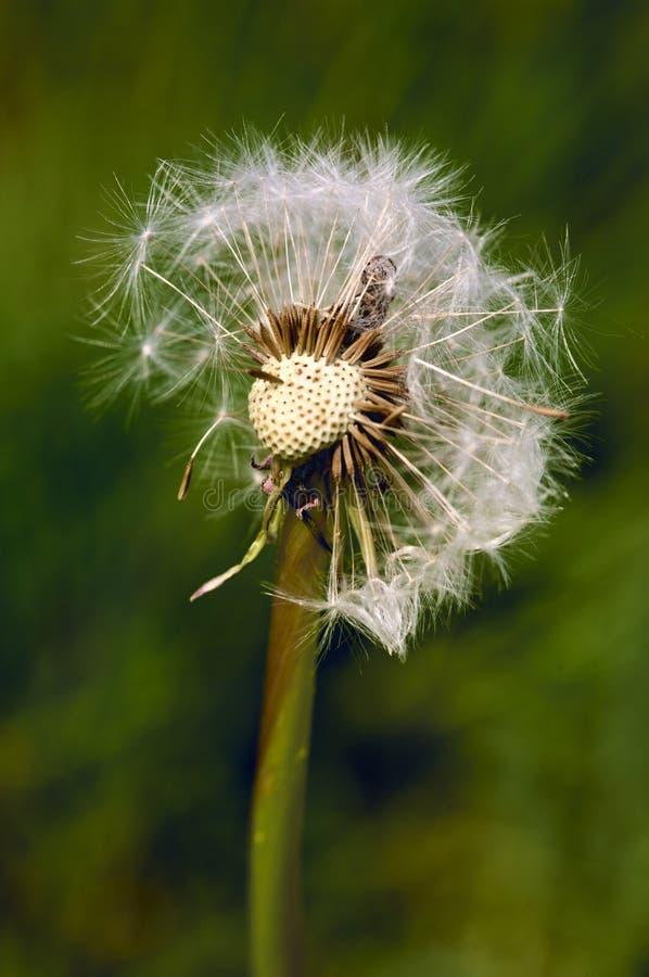 Dandelion tuft. Macro view of a soft dandelion tuft stock photography