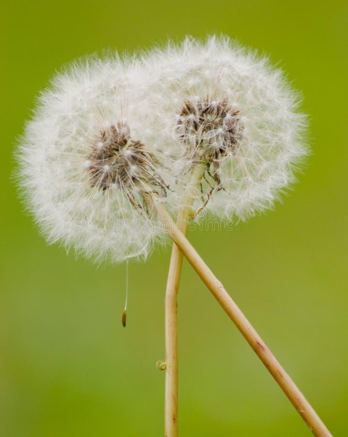 dandelion uściśnięcie zdjęcia stock