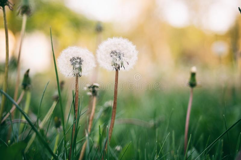 Dandelion in field closeup royalty free stock images