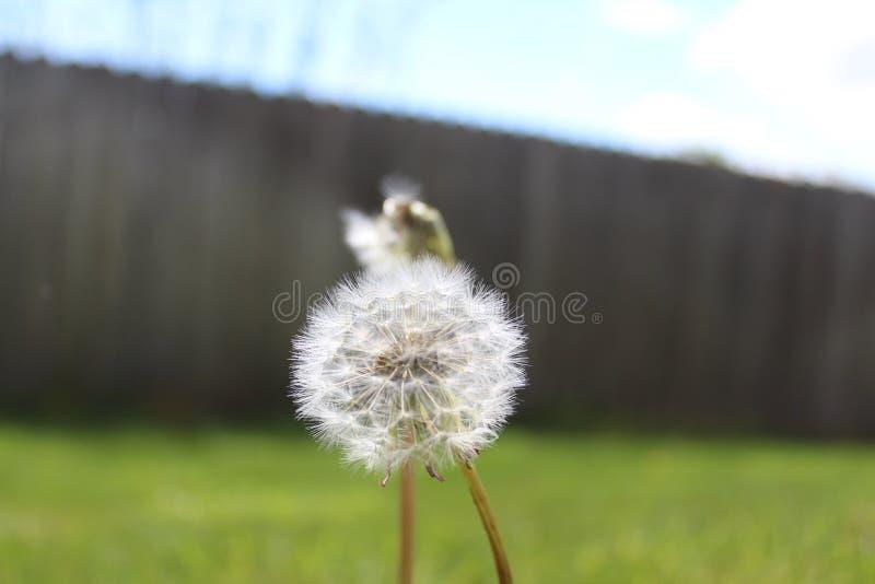Dandelion w fechtującym się jardzie zdjęcia royalty free