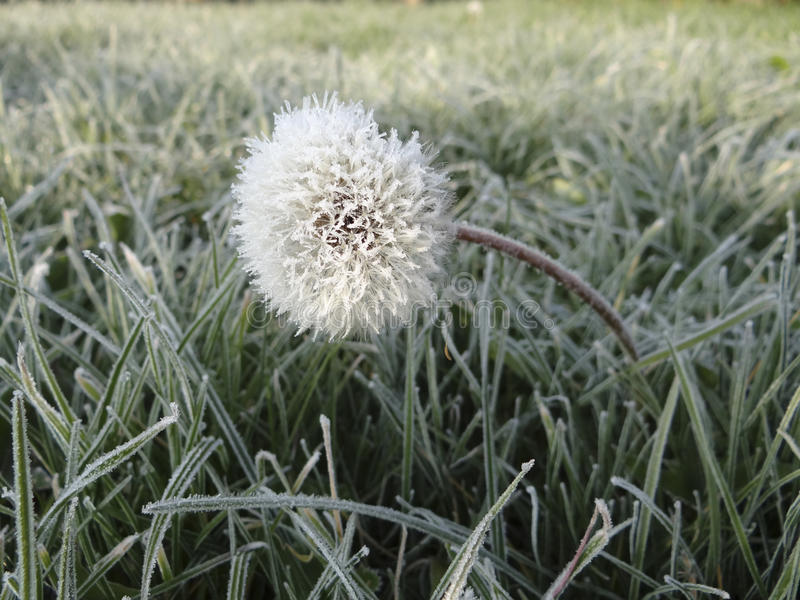 Dandelion w hoarfrost zdjęcie stock