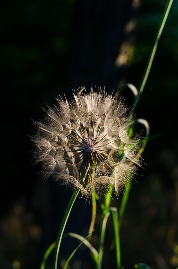 Dandelion w jaskrawych wiosna promieniach słońce Jaskrawy kontrast na ciemnym tle fotografia royalty free