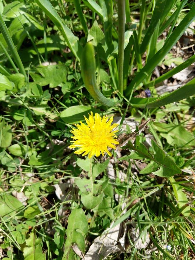 Dandelion w kwiacie zdjęcia royalty free