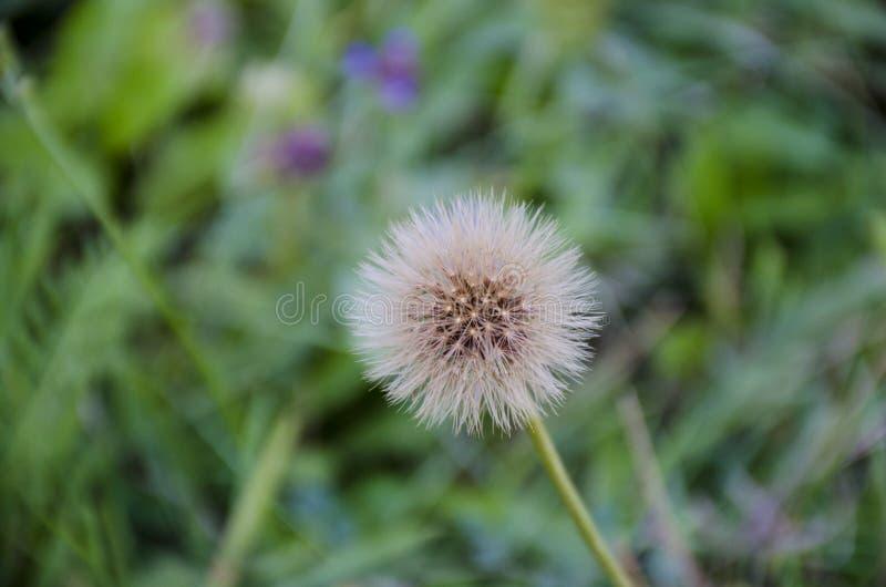 Dandelion w lecie obraz stock
