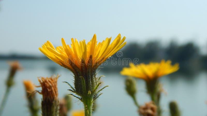 Dandelion w makro- fotografii - pogodny letni dzień obraz stock