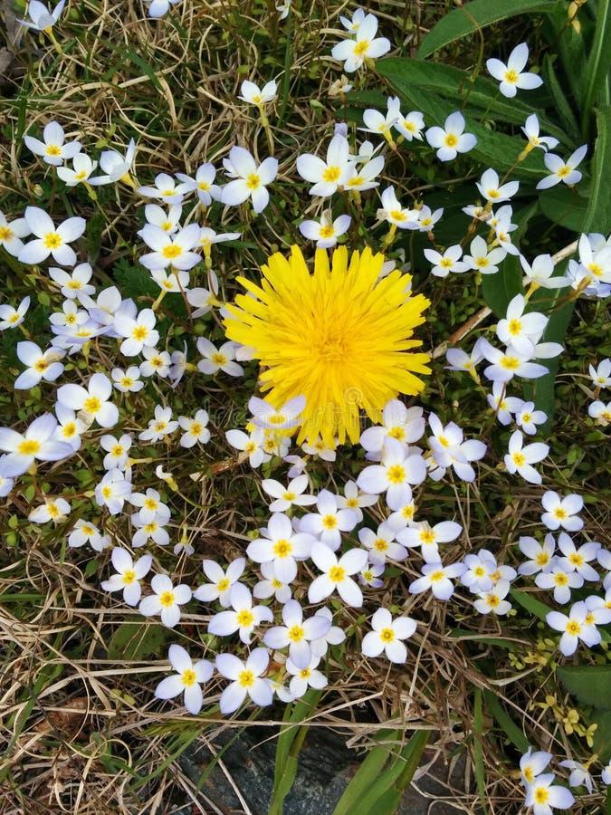 Dandelion w mech fotografia stock
