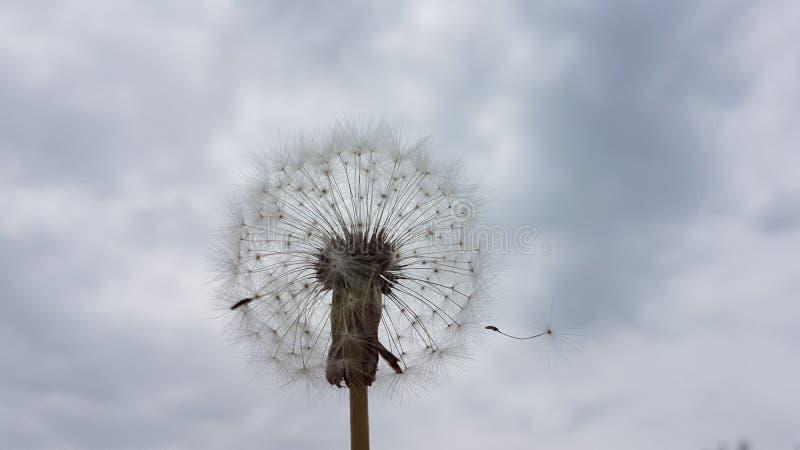 Dandelion w niebie zdjęcie royalty free