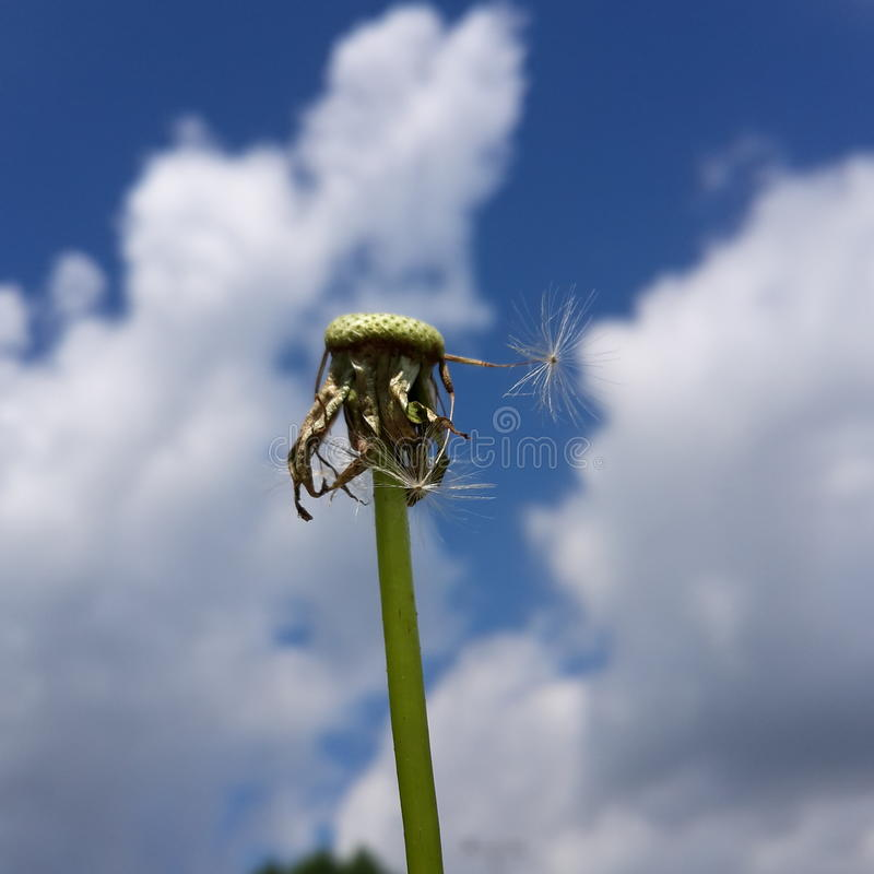 Dandelion w niebie zdjęcia stock