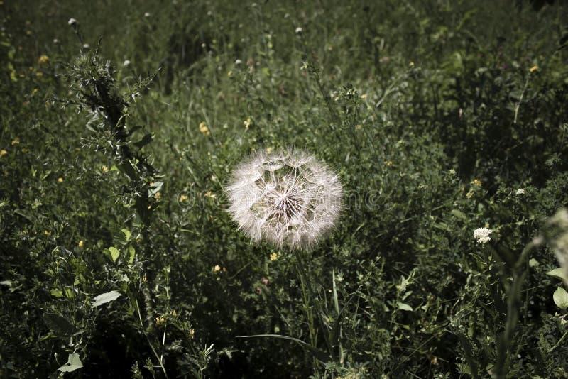 Dandelion w ogrodzie latem zdjęcia stock