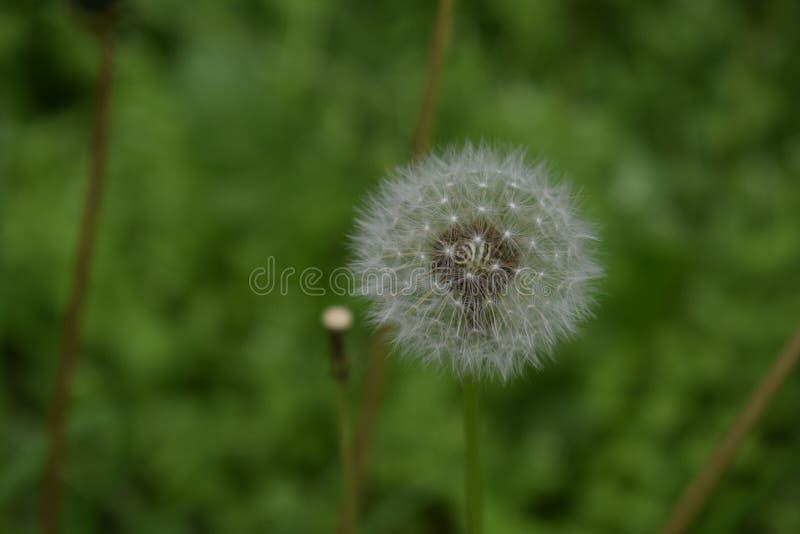 Dandelion w pełni władzy dźwiganiu zdjęcia stock