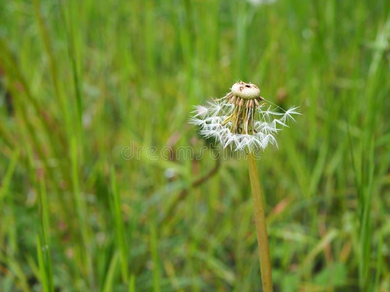 Dandelion w trawie częsciowo dmuchającej daleko od wiatrem zdjęcia stock