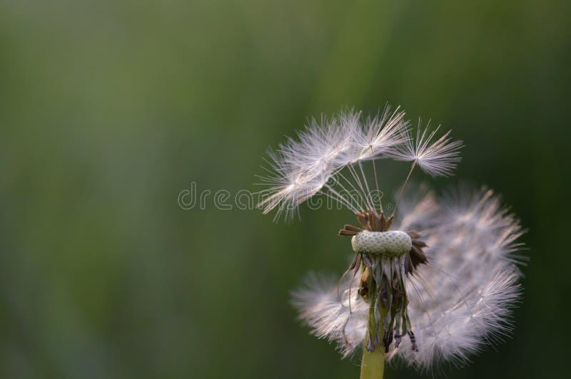 Dandelion w wiatrze zdjęcia stock