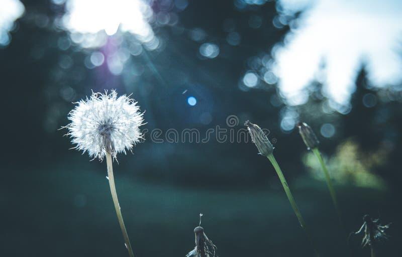 Dandelion w wieczór świetle zdjęcia royalty free