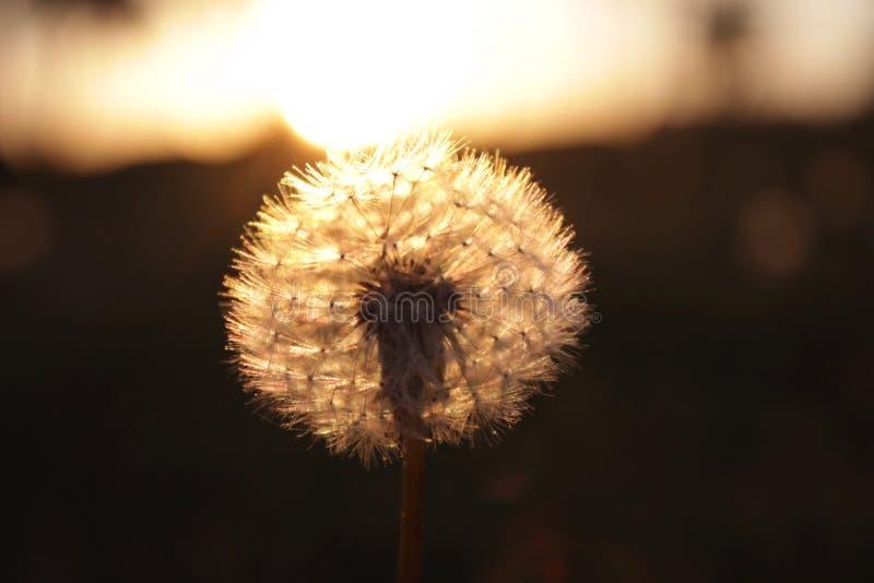 Dandelion w złotej godzinie zdjęcia royalty free