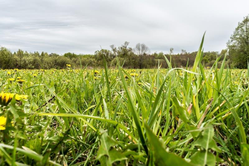 Dandelion w zielonej trawie Pięknej wiosny panoramiczny strzał z dandelion łąką t?a dandelions ?r?dpolny niebo fotografia royalty free