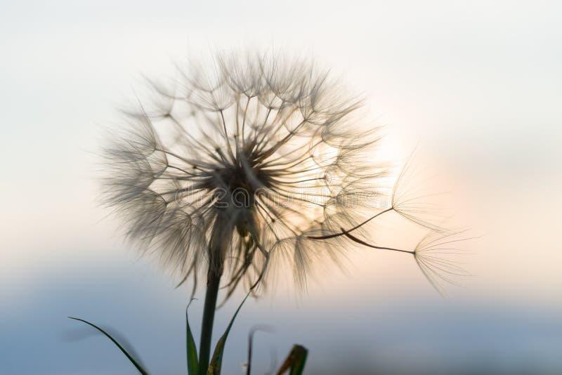 Dandelion w zmierzchu fotografia stock