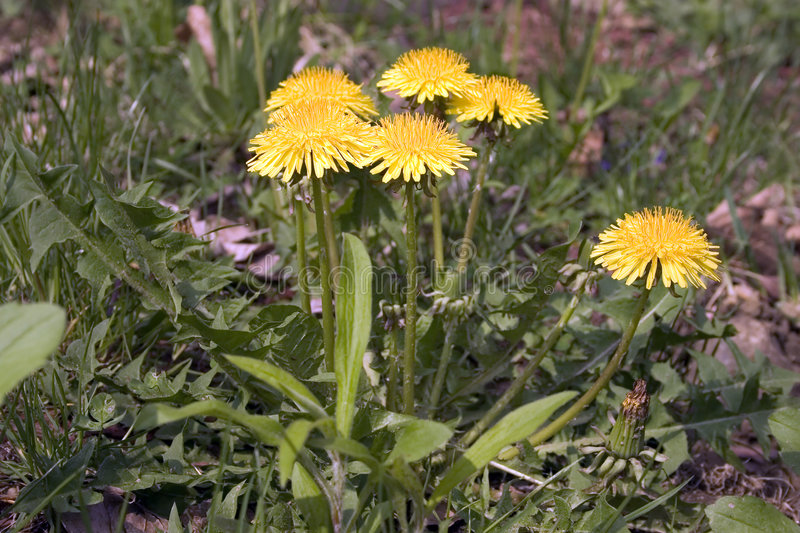 Dandelion Weeds royalty free stock images