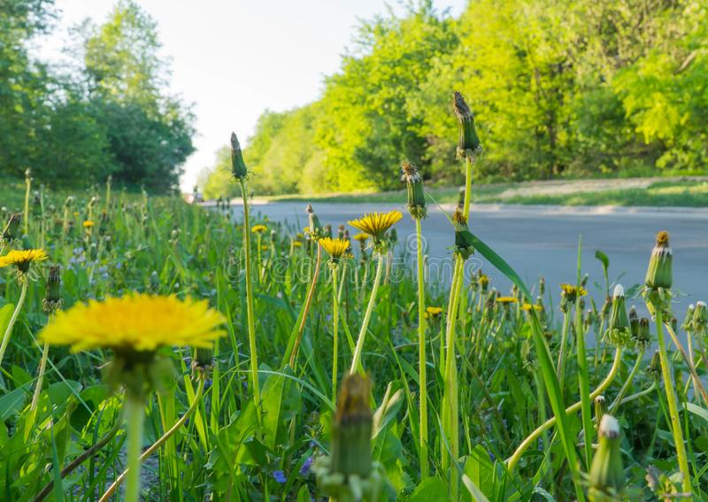 Dandelion weeds growing in the gutter of a road. Pavers, paving, petal royalty free stock images
