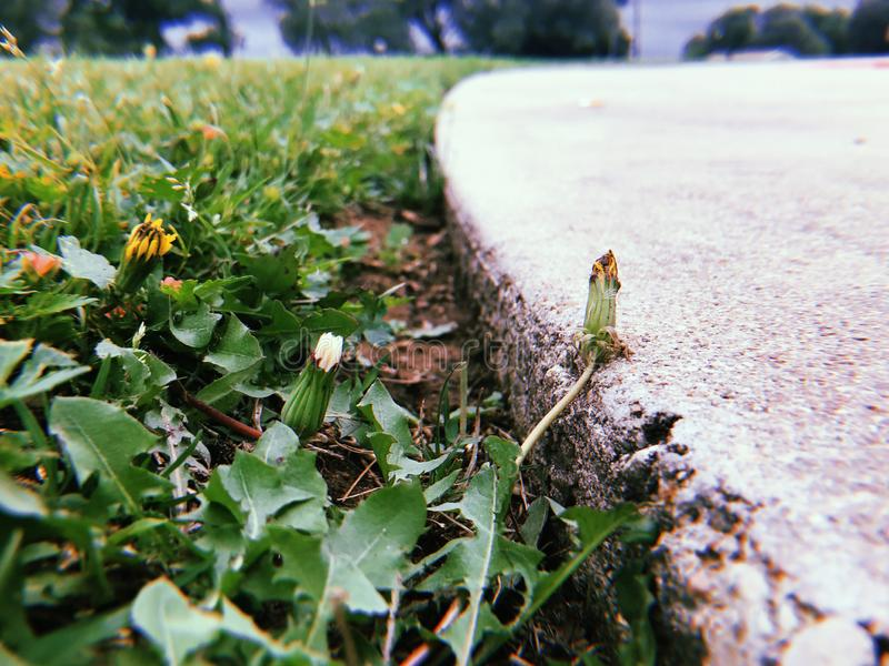 Dandelion weeds next to driveway royalty free stock photography