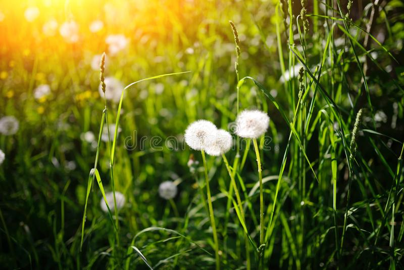 Dandelion in wet green grass with dew lawn backround.  royalty free stock image