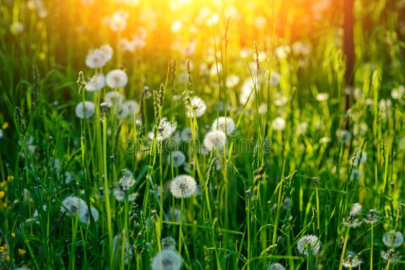 Dandelion in wet green grass with dew lawn backround.  royalty free stock photography