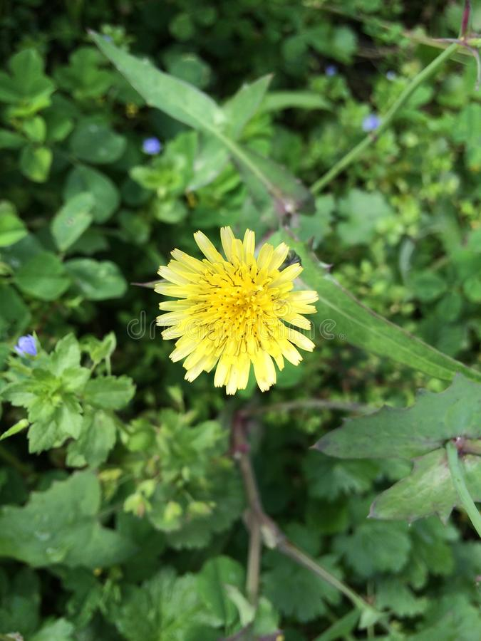 Dandelion, wild plants, beautiful yellow flowers at spring royalty free stock photo