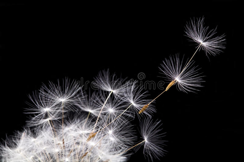 Dandelion in the wind royalty free stock photography