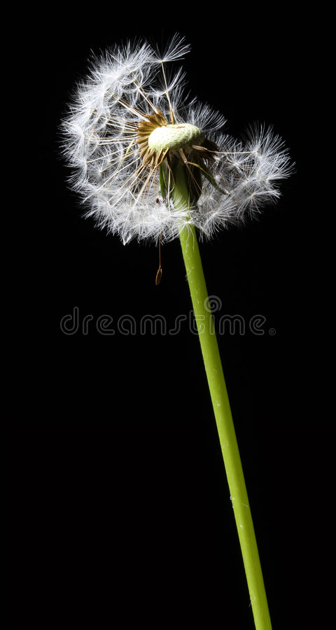 Dandelion in the wind. On black background stock image