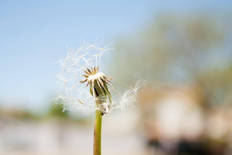 Dandelion in the wind, airy white beautiful, stock photography