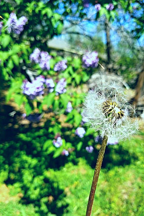 Dandelion in the wind stock image
