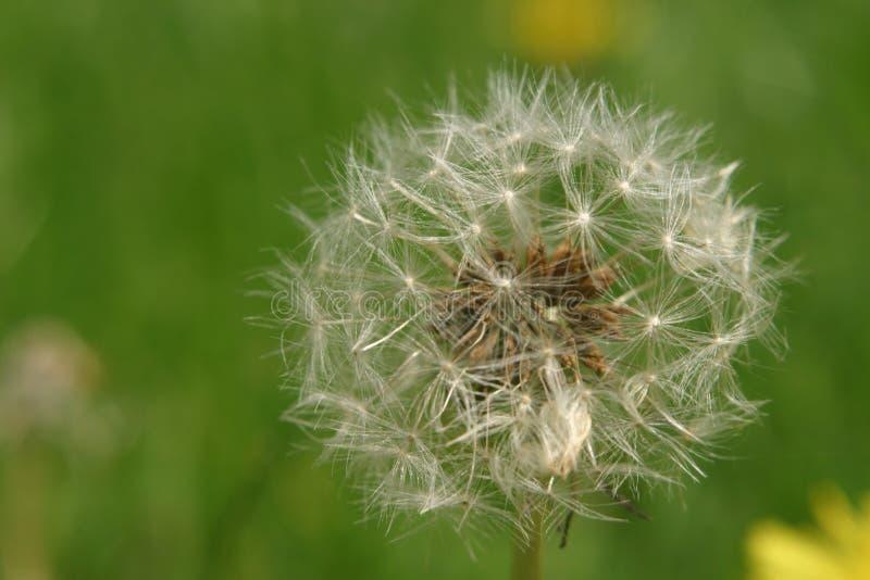 Download Dandelion Wish stock photo. Image of weak, breakable, spring - 7852