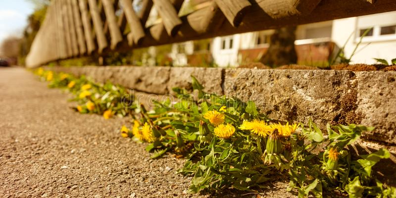Dandelion with yellow flower at a wall with fence and front garden. And sidewalk royalty free stock photo