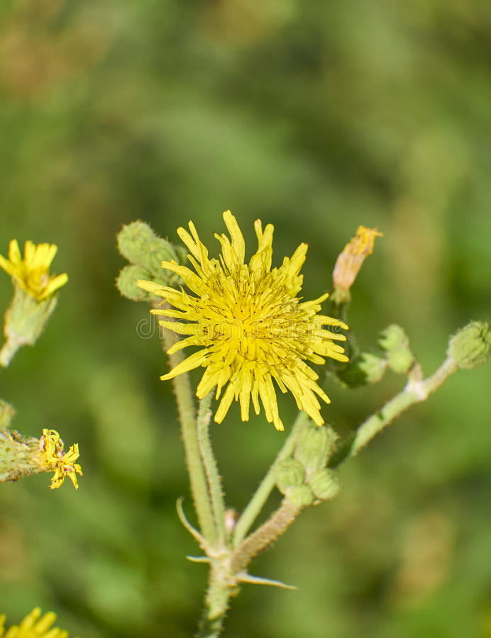 Dandelion yellow wild flower closeup royalty free stock images